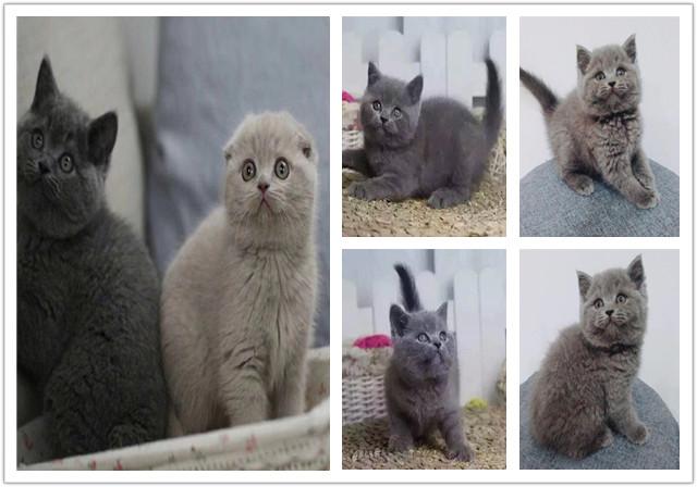 精品英国短毛猫 纯种英短猫公母都有 本地正规猫舍专业繁殖