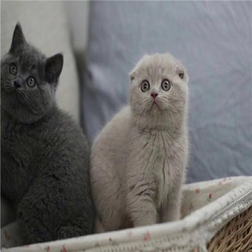 英国短毛猫价格 精品纯种英国短毛猫多少钱一只