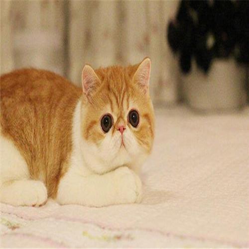 纯种加菲猫广东哪里有 加菲猫多少钱
