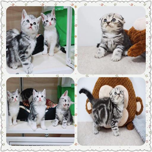 精品标斑美短哪里有卖 虎斑美短 美短加白 正规猫舍出售