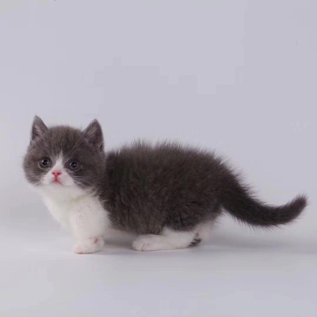 曼基康猫价格 曼基康猫多少钱一只 曼基康矮脚猫哪里有卖