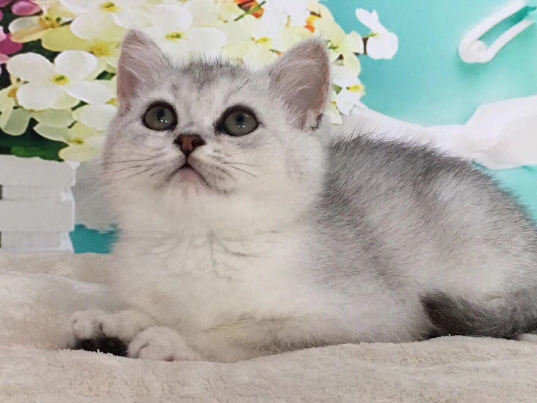 纯种英国短毛猫多少钱一只 广州英国短毛猫价格