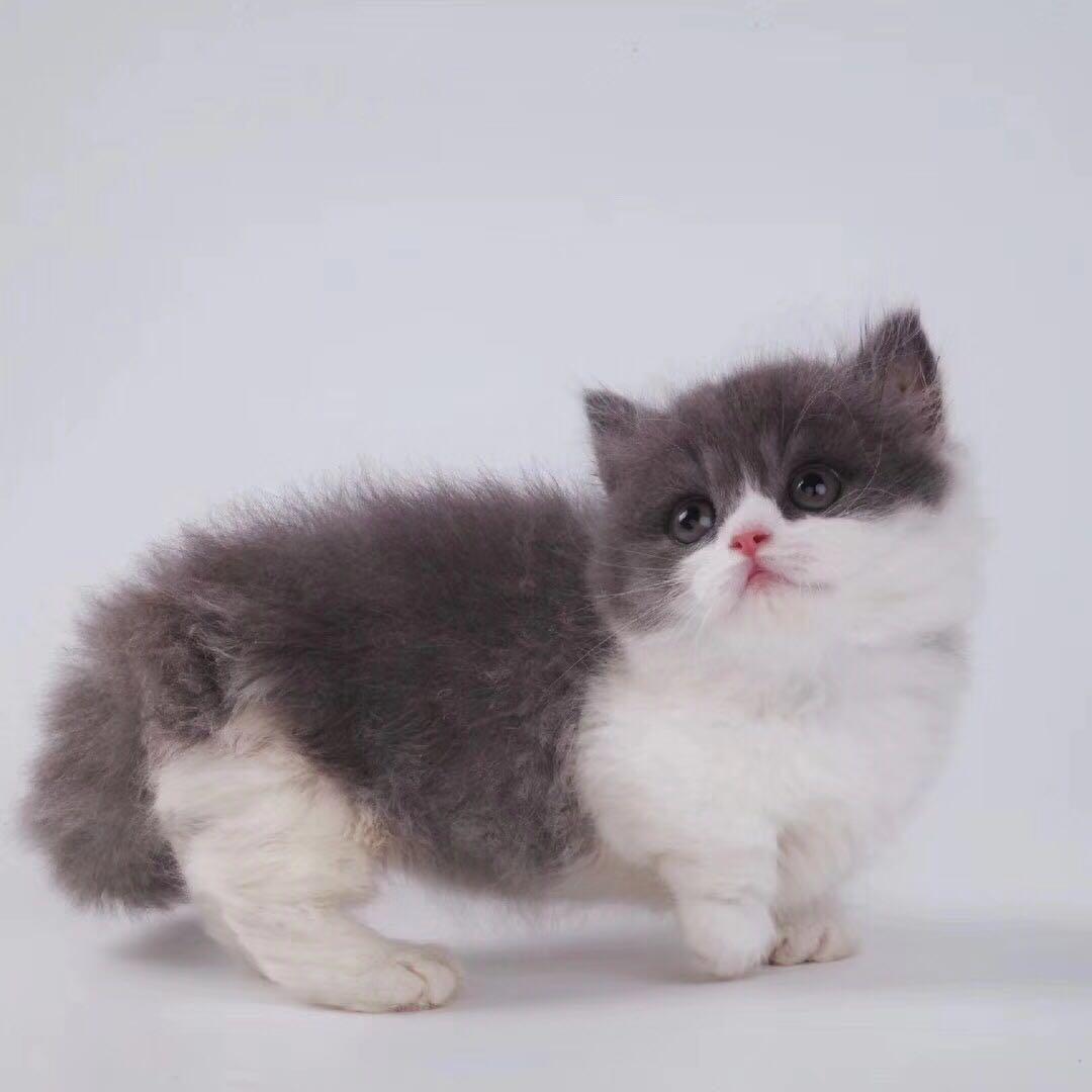 曼基康矮脚猫价格 广州纯种曼基康猫多少钱一只 曼基康猫猫舍
