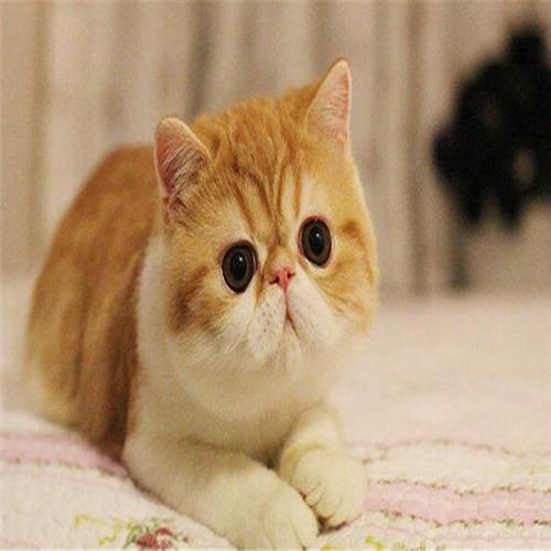 异国短毛加菲猫价格多少 呆萌呆萌的加菲猫广东哪里有卖