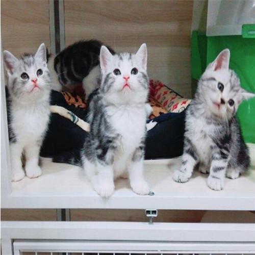 美国短毛猫多少钱 标准虎斑短毛猫 美短加白猫