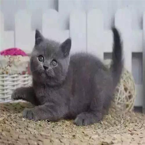 纯种蓝猫多少钱一只 包子脸蓝白价格 广东广州蓝猫猫舍
