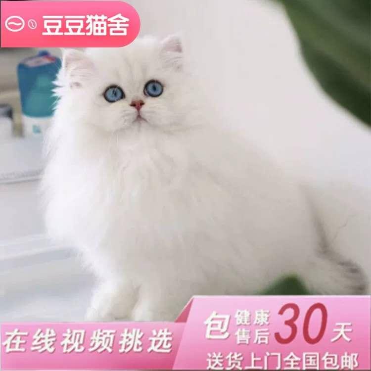 金吉拉猫 纯种家养金吉拉幼猫折耳金吉拉猫猫舍直销猫
