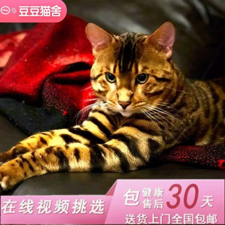 纯种孟加拉豹猫豹纹猫空心玫瑰豹猫幼猫亚洲虎斑猫金钱