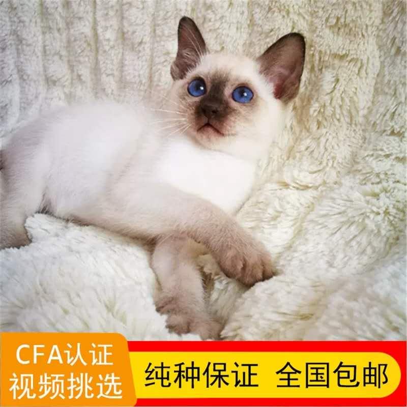 出售泰国纯种海豹暹罗猫咪宠物活体幼猫真猫家养