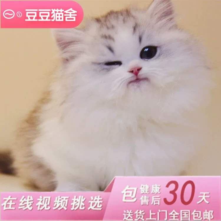 猫舍曼基康矮脚猫活体宠物猫蓝白矮脚幼猫拿破仑短腿猫