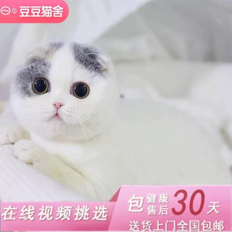 出售赛级苏格兰折耳猫英短折耳cfa猫舍活体幼猫纯种猫咪
