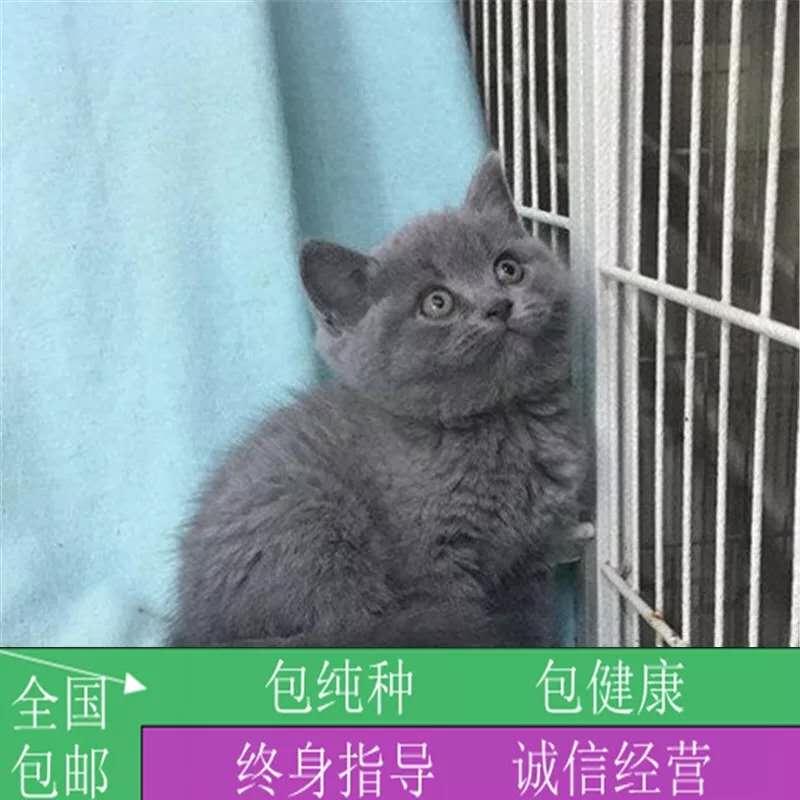 纯种英短蓝猫英国短毛猫宠物猫活体幼猫活体宠物猫