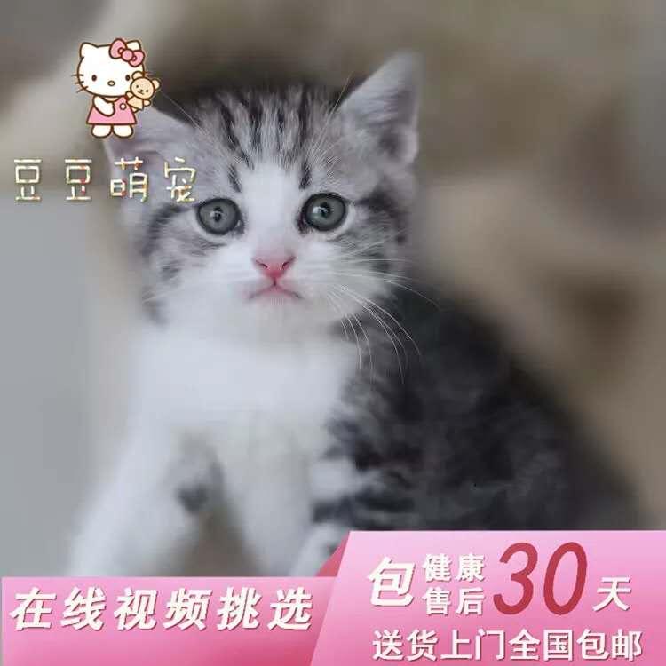 美国短毛猫活体银虎斑加白纯种活体幼猫精品美短加白