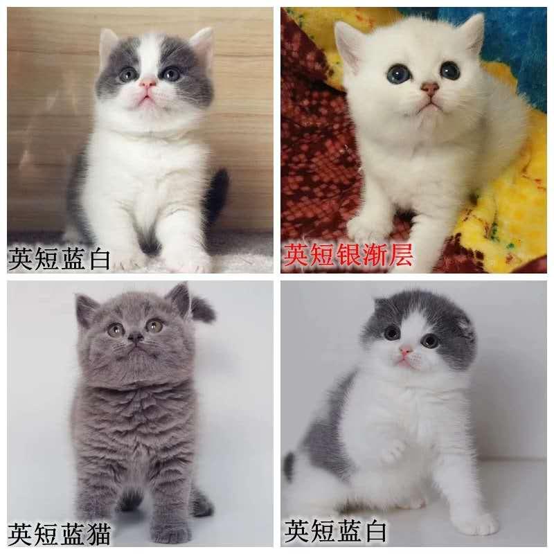 专业级猫舍,繁殖全品种猫咪,官网推荐猫舍、终身质保3