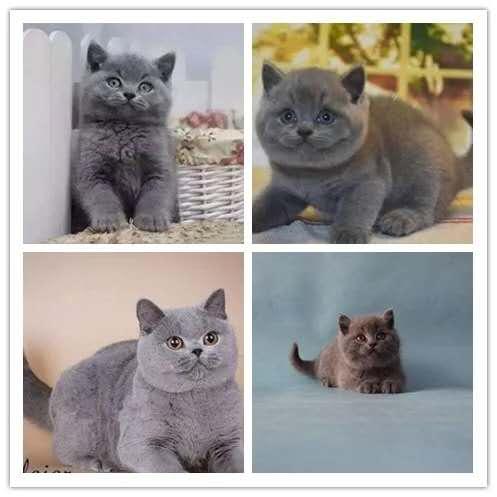 专业级猫舍,繁殖全品种猫咪,官网推荐猫舍、终身质保4