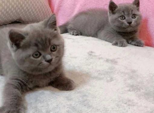 家里的蓝猫,重庆本地的欢迎上门选猫猫