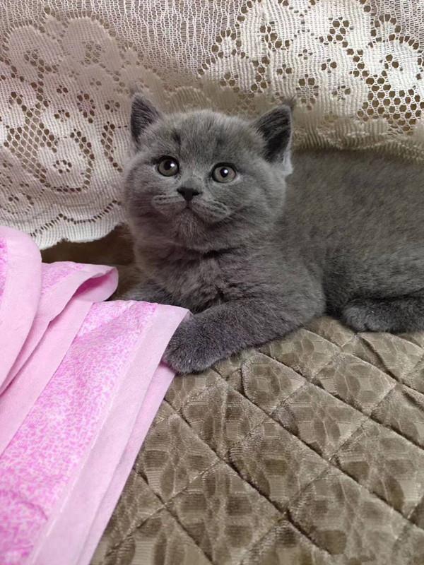 两个多月大的蓝猫,希望找个真心喜欢猫猫的