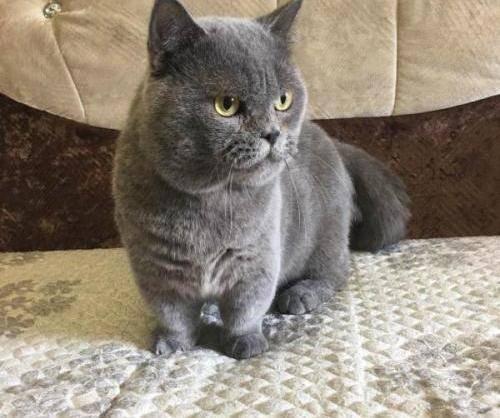 CFA官网推荐猫舍纯种曼基康小短腿无病无癣