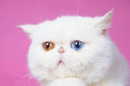出售纯种波斯猫_波斯猫价格_波斯猫多少钱
