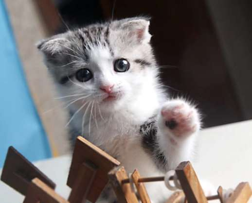 正规猫舍 出售纯种折耳猫 公母均有 疫苗驱虫齐全