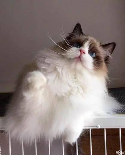 正规猫舍 出售纯种布偶猫 公母均有 疫苗驱虫齐全