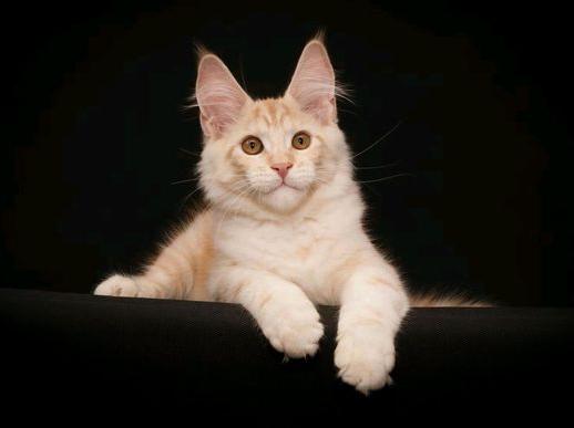 缅因猫, 纯种,双血统,三针疫苗,二次驱虫都做完。