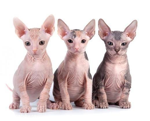 无毛猫,纯种,双血统,三针疫苗,二次驱虫都做完。