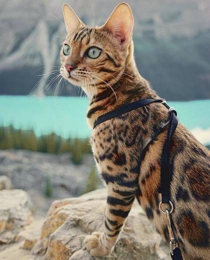 豹猫,纯种,双血统,三针疫苗,二次驱虫都做完。