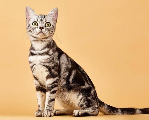 出售高品质 纯种健康 美国短毛猫 聪明 无色块
