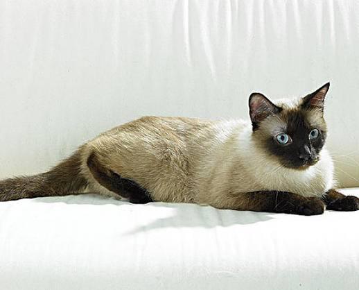 纯种暹罗猫出售 保障血统纯正疫苗驱虫完全到位