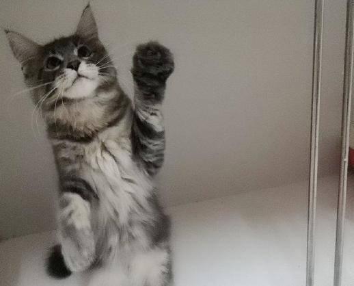 正规猫舍 出售纯种缅因猫 公母均有 疫苗驱虫齐全