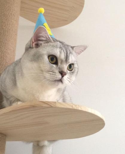 正规猫舍繁育直销英短 英国短毛猫多少钱包纯种