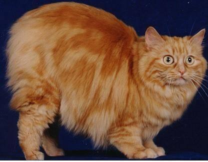中华田园猫,包健康,三针疫苗两次驱虫