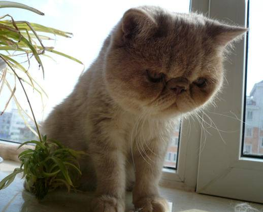 纯种加菲猫多少钱|加菲猫图片|加菲猫哪里有卖