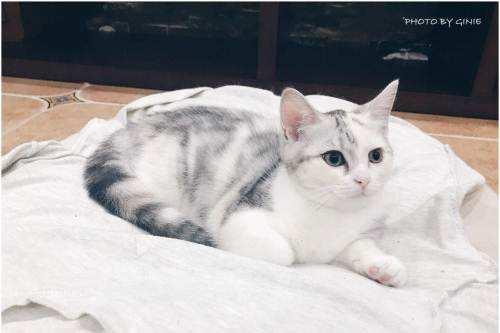 美国短毛猫加白价格多少钱一只?这类猫猫如何饲养