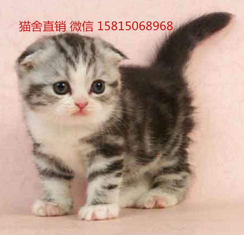 深圳哪里有卖折耳猫 折耳猫多少钱一只 折耳猫吃什么