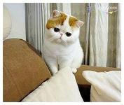 异国短毛加菲猫价格多少 呆萌呆萌的加菲猫东莞哪里有卖