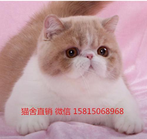 深圳哪里有卖加菲猫 加菲猫多少钱 十年专注