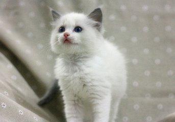 佛山哪里可以买布偶猫,价位大概多少呢