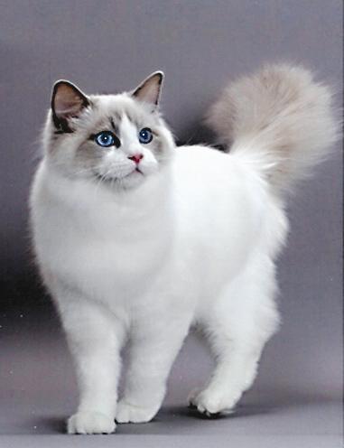 深圳哪里有卖布偶猫多少钱 布偶猫照片