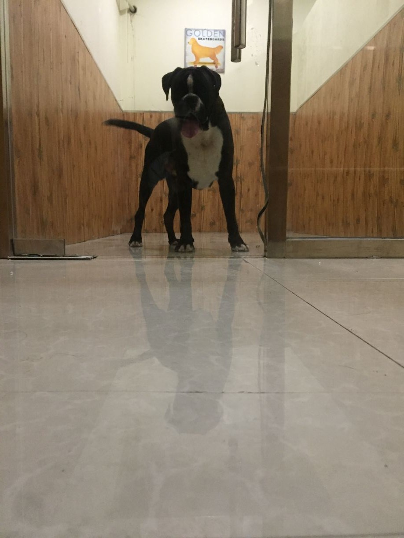 拳师幼犬出售 德系拳师犬7