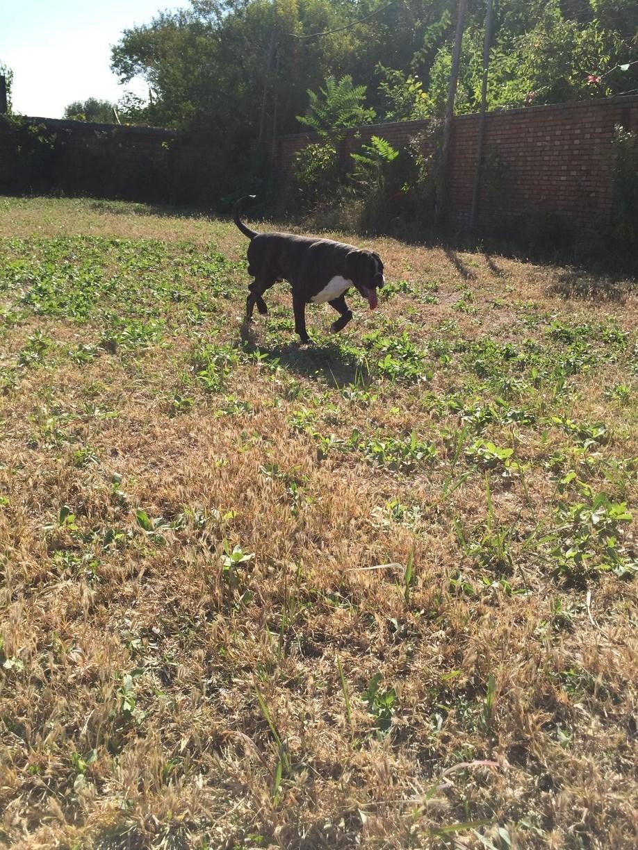 拳师幼犬出售 德系拳师犬9