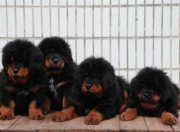 云南保山藏獒出售狗场藏獒幼犬常年出售