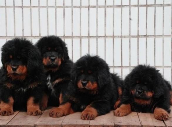云南保山藏獒出售狗场藏獒幼犬常年出售5