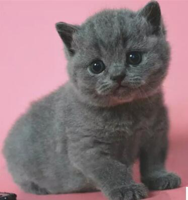 北京蓝猫多少钱一只 北京蓝猫怎么卖 北京哪卖蓝猫