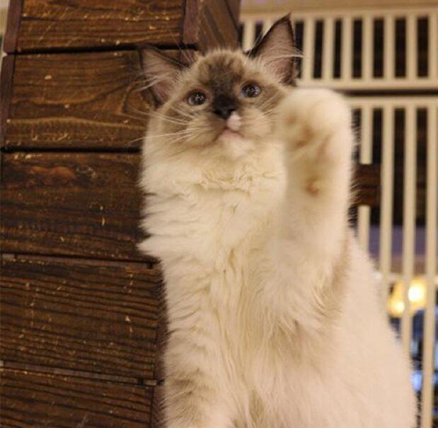 北京暹罗猫多少钱一只 北京哪卖暹罗猫 暹罗猫怎么卖