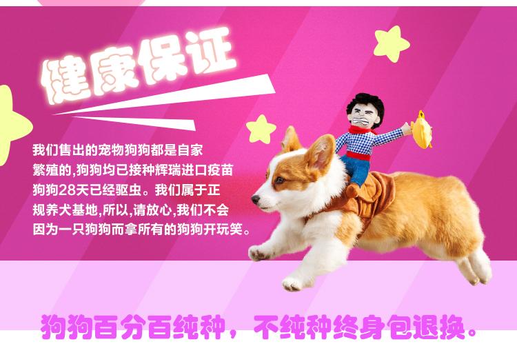 可爱韩系泰迪犬特价出售中 纯家养保证品质和健康10