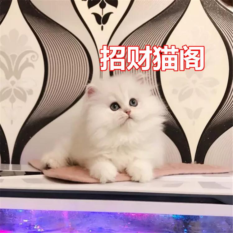 佛山哪里有卖金吉拉猫佛山金吉拉猫一只多少钱