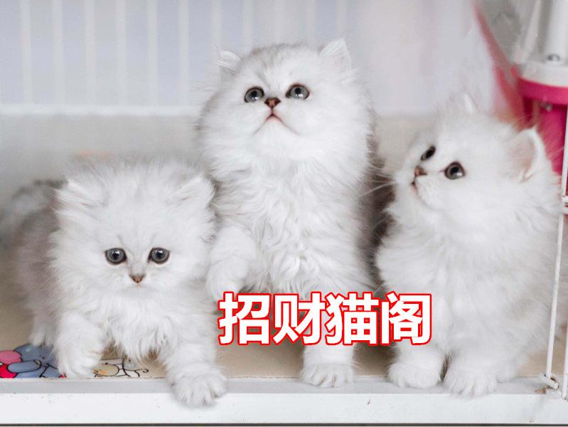 汕头哪里有卖金吉拉猫汕头金吉拉猫一只多少钱