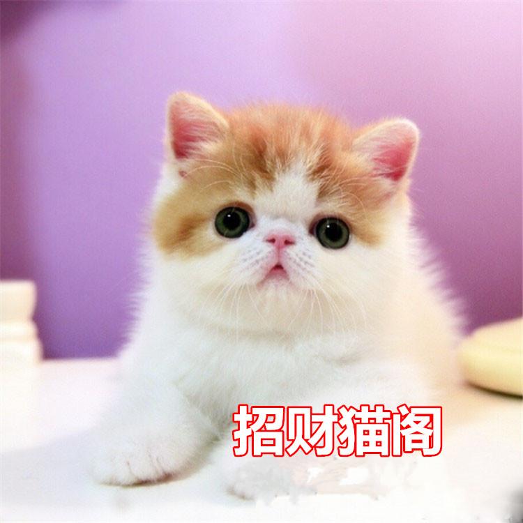 珠海哪里有卖纯种加菲猫珠海哪里有卖异国短毛猫